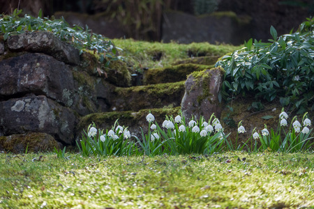 natural stone stairs in a terraced hillside garden with spring snowflake flowers in the grass, sample for spring in shady gardens photo