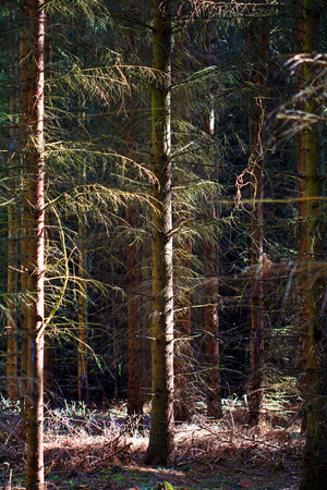 sidelight: coniferous forest with closely spaced trees in sidelight