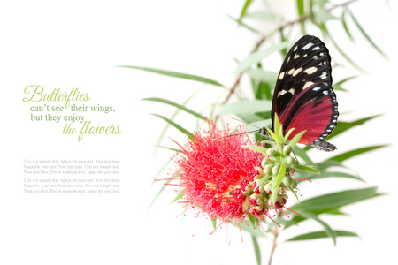 enjoy space: butterfly on a pink flower isolated on white background with copy space and sample text, butterflies cant see their wings, but enjoy the flowers