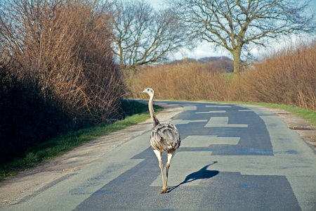 ratite: feral greater rhea (nandu) walking on a country road in northern Germany, Mecklenburg, as  impediment to traffic