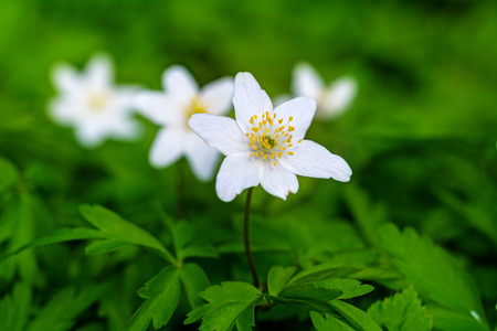 narrow depth of field: white windflowers or wood anemones (anemone nemorosa) in a green background, selective focus, narrow depth of field