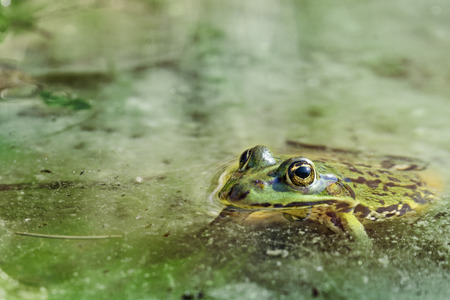 lessonae: water frog portrait  Rana lessonae in the water