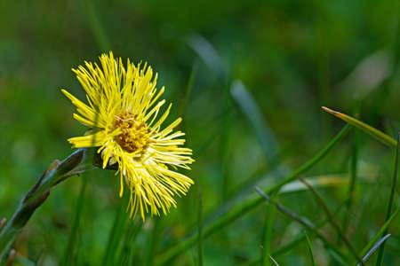 homoeopathic: coltsfoot flower in the green grass, macro shot,  blurred background with copy space Stock Photo
