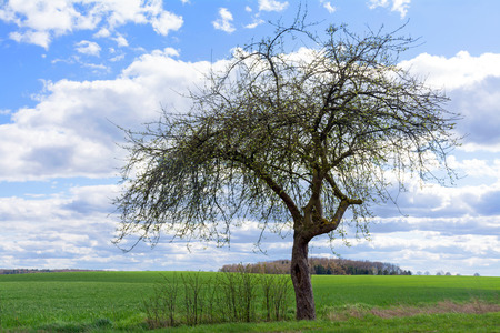 lonley: old apple tree in spring with the first leaves on a green field against blue sky with white clouds