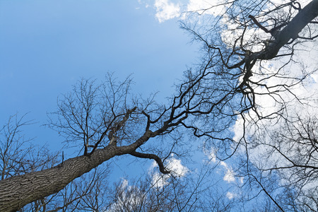 treetops: treetops of two bare trees meet high up in the blue sky with clouds, copy space Stock Photo
