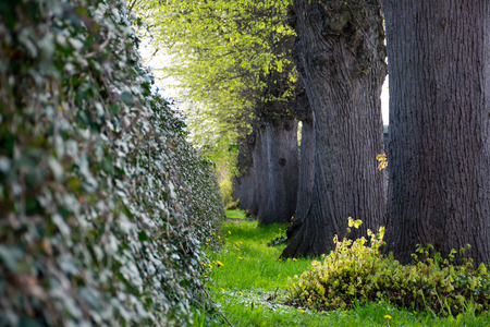 ivy wall: ivy wall and a row of big old tree trunks, dark gray and fresh green, selected focus, narrow depth of field Stock Photo