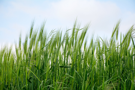 tilt views: green spikes in a barley field against the sky Stock Photo
