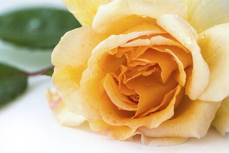 buff: rose buff beauty, soft peach and apricot, closeup shot