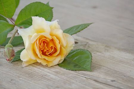 buff: rose buff beauty peach and apricot on an old wooden board, copy space for your text
