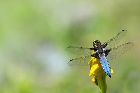 libellula: blue dragonfly, Libellula depressa, broad bodied chaser, male, sitting on a yellow flower, blurred background with copy space