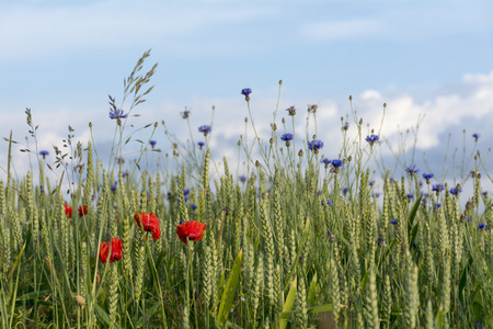 narrow depth of field: cornflowers and poppies in a wheat field against the blue sky, narrow depth of field Stock Photo