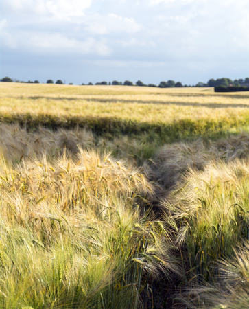 narrow depth of field: barley field and rural landscape against the cloudy blue sky, narrow depth of field and copy space in blurred background