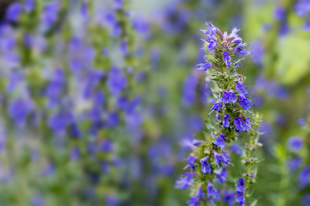 Hyssop flower branch (Hyssopus officinalis)  in the herb garden, blurred background with copy space