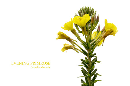 Yellow evening primrose (Oenothera biennis) isolated on a white background with sample text, medicine plant for cosmetics, skin care and eczema