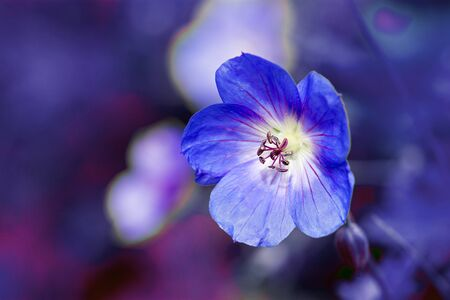 washington state: cranesbill flower (Geranium) close up shot against a blurred purple blue background with copy space Stock Photo