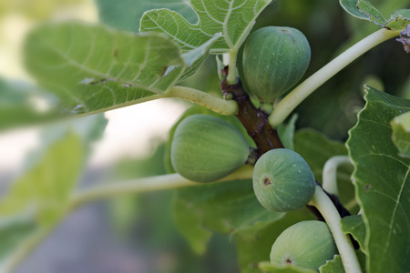 narrow depth of field: immature green figs and leaves on the tree, selected focus, narrow depth of field, copy space