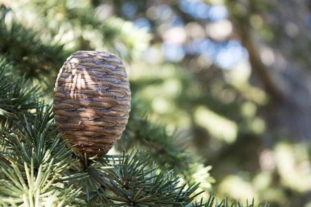 libani: upright growing cone on the branch of a cedar tree, Cedrus libani Stock Photo