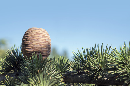libani: Cone and branch of the cedar of Lebanon, Cedrus libani, against the blue sky with copy space, selected focus, narrow depth of field