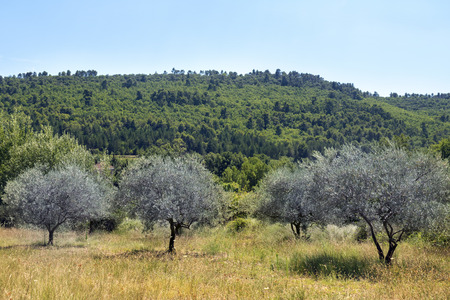 luberon: Meadow with olive trees in a landscape of Provence, south of France, Luberon region