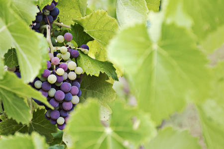 immature: mature and immature grapes of red wine behind blurred leaves, copy space for your text