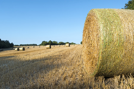 stubble: Round straw bales after harvest on a stubble field