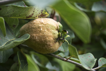 hairy pear: Portugal quince or pear quince in the tree (Cydonia oblonga) Stock Photo