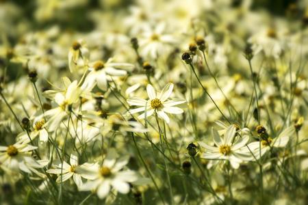 tickseed oder Coreopsis verticillata oder Moonbeam, ein leuchtend gelben Blumenwiese mit verzweigten Blütenständen, ausgewählten Fokus, schmalen Schärfentiefe