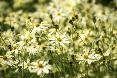 moonbeam: tickseed or Coreopsis verticillata or Moonbeam, a bright yellow flower meadow with branched inflorescences, selected focus, narrow depth of field