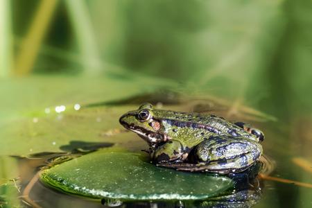 """principe rana: sentado rana verde agua """"Rana lessonae"""" y lirio de agua deja en una charca del jardín, fondo borroso, con copia espacio"""