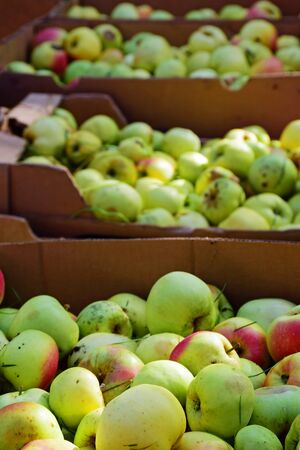 windfalls: apple harvesting, many windfall fruits collected in cardboard boxes to make organic apple juice, selected focus, narrow depth of field, vertical