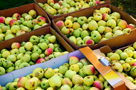 windfalls: apple harvest, boxes full of unwashed windfalls for the production of fruit juice, selected focus, narrow depth of field Stock Photo