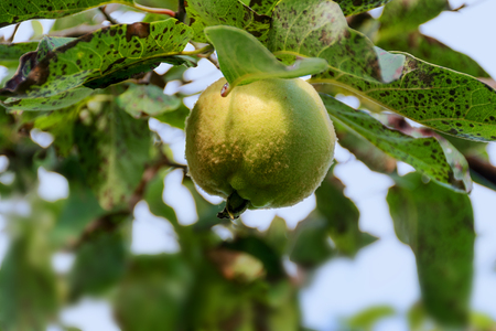 hairy pear: Portugal quince or pear quince (Cydonia oblonga), single fruit hanging at a branch on the tree in the orchard