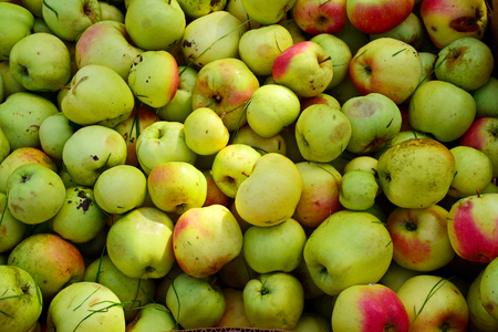 windfalls: background with organic unwashed apples, collected windfalls at the harvesting Stock Photo