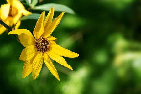 girasol: flor amarilla de un girasol perenne (Helianthus) contra un fondo borroso verde con copia espacio, enfoque seleccionado Foto de archivo