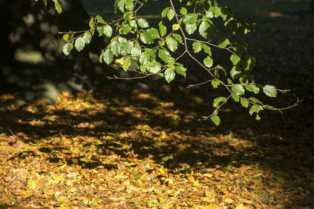 pflanze: Beech branch with green foliage over dry autumn leaves on the ground, copy space