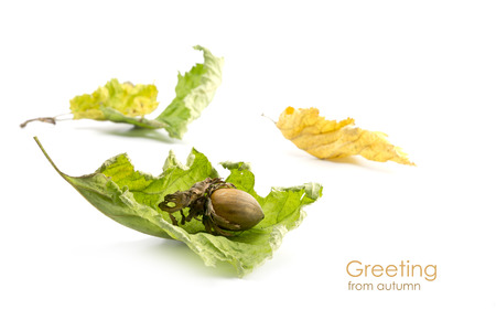 corylus: Hazelnut (Corylus avellana) and dry leaves in green and yellow isolated on a white background, sample text Greeting from autumn
