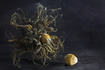 corylus: Turkish hazelnut or filbert Turkish (Corylus colurna), dry bristle fruit cluster and nuts on a background of dark rustic wood in creative light, closeup with copy space
