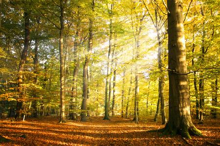 Herfst bos landschap met zonnestralen en kleurrijke de herfstbladeren op de hoge bomen, schoonheid in de natuur voor affiches, achtergrond of wallpaper
