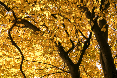 beech tree: view into the treetop of a beech tree with golden fall foliage, abstract autumn background texture Stock Photo