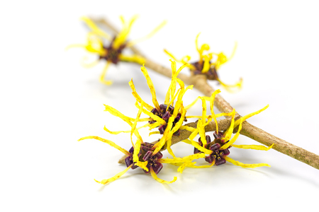 Blossoming branch of a witch hazel, medicinal plant Hamamelis, isolated with shadow on a white background, closeup with selected focus, narrow depth of field Banque d'images
