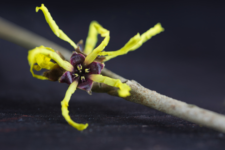 witch hazel: bloom of the witch hazel (Hamamelis) against dark wooden background, macro with selected focus and narrow depth of field
