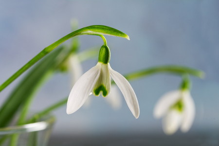 narrow depth of field: close up of snowdrops in a vase against a bright blue background, selected focus, narrow depth of field Stock Photo
