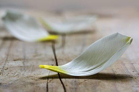 transience: white petal of a tulip flower, fallen down on a rustic wooden table, like a small boat, closeup shot with selected focus and narrow depth of field, copy space