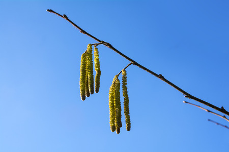 corylus: Hazel catkins - Corylus avellana against the blue sky, highly allergenic pollen in early spring, close up with copy space, selected focus and narrow depth of field