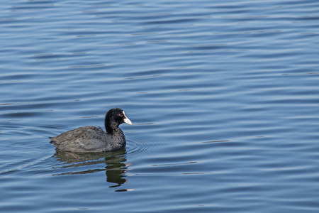 fulica: small Eurasian coot (Fulica atra) swimming on the big blue water with generous copy space Stock Photo