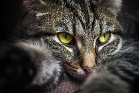 narrow depth of field: tabby cat with yellow green eyes lying on the couch, portrait closeup with selected focus and a very narrow depth of field