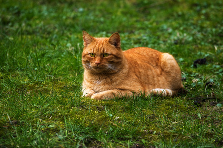 eye catcher: red cat lying on a green meadow, copy space Stock Photo