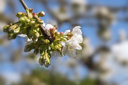 narrow depth of field: Apple blossom on a branch in the orchard, closeup with selected focus and narrow depth of field, blurred background with copy space