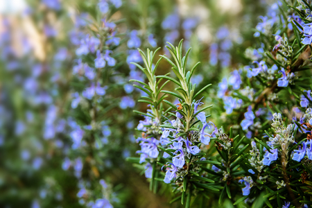 blossoming rosemary plants in the herb garden, selected focus, narrow depth of field