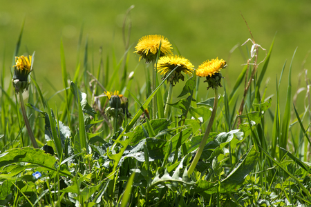 narrow depth of field: weed in the lawn, dandelion with yellow flowers, selected focus and narrow depth of field Stock Photo